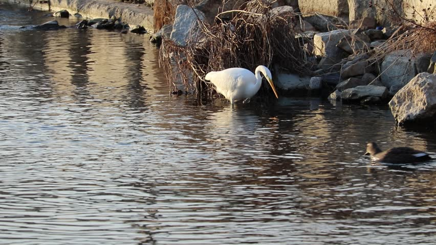 Great Egret is catching fish in the brook. | Shutterstock HD Video #1021277653