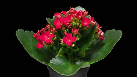 4K Time-Lapse of Kalanchoe Flower Blooming on Black Background. Close-up of Opening Red Kalanchoe Flower buds with Green Leaves - macro studio shot.