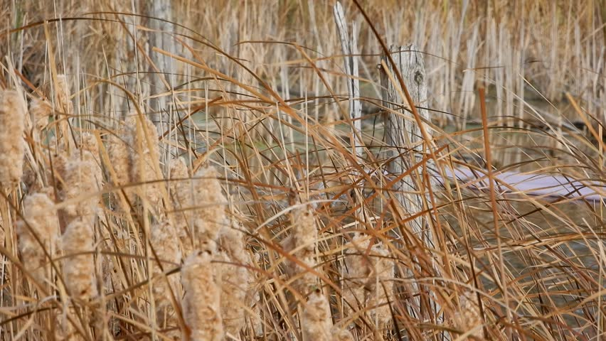 Cat Tails Wheat Grass Wind Swaying With Wooden Posts And Metal Fence In Backg