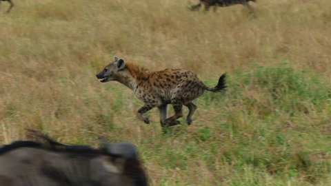 A hyena tries to hunt wildebeest at sunset in the savannah