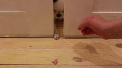 Funny dog Chihuahua hunts through the slot door for a piece of food