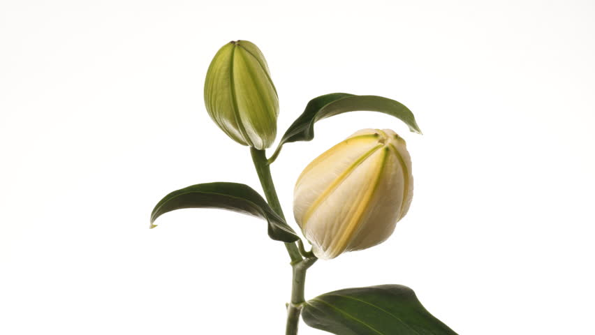 White Royal lily flower opening time lapse against a white background