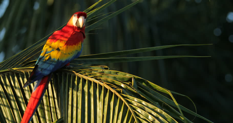 Red parrot Scarlet Macaw, Ara macao, bird sitting on the branch, Costa Rica. Wildlife scene from tropical forest. Beautiful parrot on green tree in nature habitat, evening light.