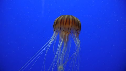 Close shot of a jellyfish with blue background swimming up long tentacles
