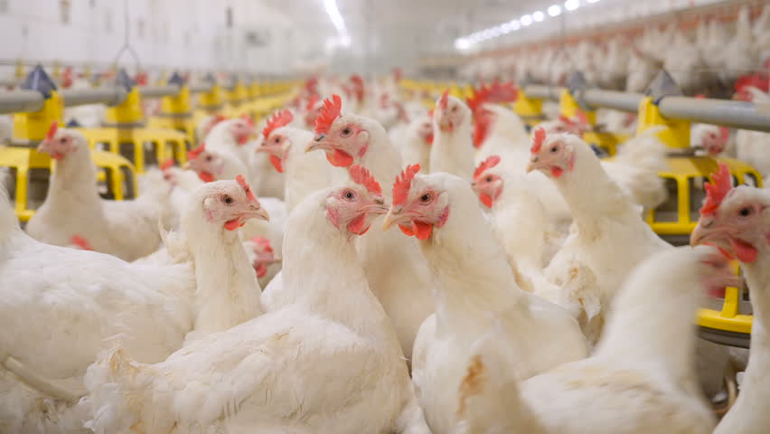 Poultry farm. Lots of chickens in the hangar. | Shutterstock HD Video #1021918633