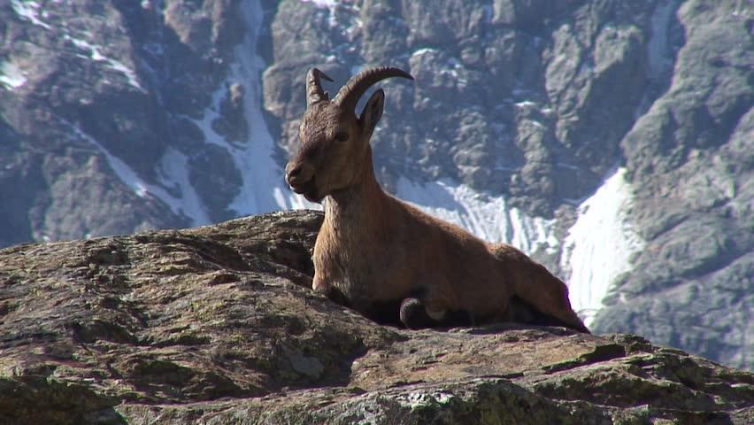 Caucasus. The gorge Bezengi. Mountain goat.   Shutterstock HD Video #1022034973