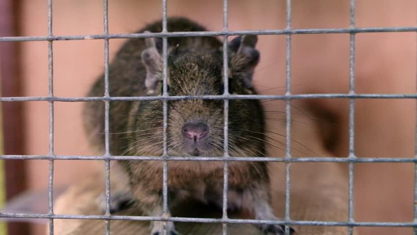 Octodon degus. Bush rat degu, south american rodent.