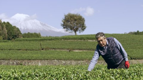 Japanese farmer going through a field checking tea plants in a plantation with Mount Fuji in the background on a bright sunny fall day. Wide shot on 4k RED camera on gimbal.