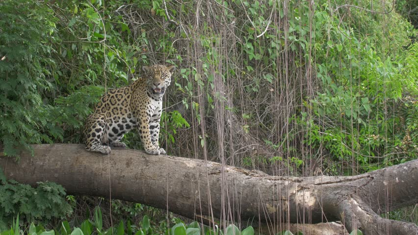 Jaguar resting on tree, Cuiaba river, Pantanal, Brazil | Shutterstock HD Video #1022182513