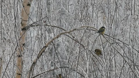 Greenfinch and titmouses on a birch with hoarfrost.