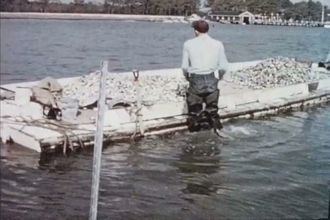 CIRCA 1950s - Shellfish are harvested from the mud in the Chesapeake region of Virgina in the 1950s