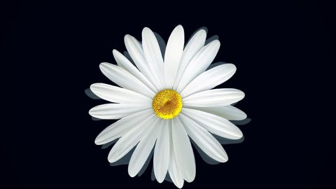 Beautiful, rotating, abstract chamomile flower moving bottom up, isolated on black background. Spinning white daisy flower bud, top view.