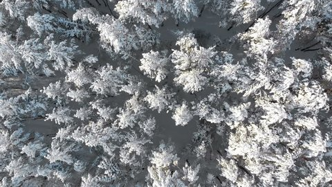 Flying over the Snowy Tops of Trees of a Winter Pine Forest on a Sunny Day. Aerial view on a winter pine forest. Panoramic view from the drone on the snow-covered tops of the trees.
