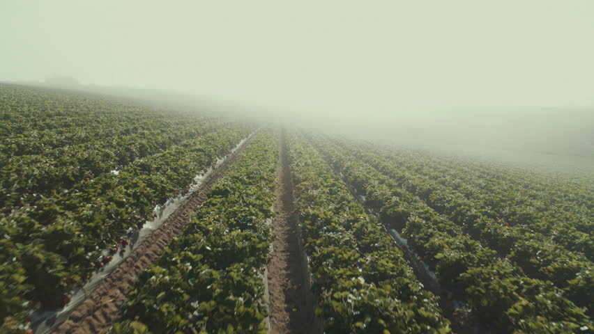 Morning Pass Through Foggy Strawberry Raw Fields, California/US - 6/12/18 Bird eye View at Sunrise.  Aerial Shot on Inspire 2 Zenmuse 7 Pro?es HQ.mov | Shutterstock HD Video #1022423773