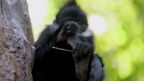 This close up video shows a small wild Francois' Langur monkey eating pods in the jungle.