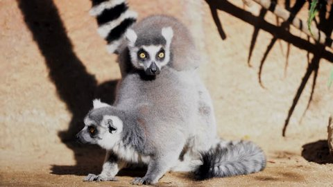 This video shows two wild ring tailed lemurs mating on a summer day in Africa