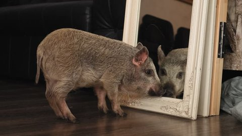 Funny pig looks at his reflection in the mirror being indoors in slow motion
