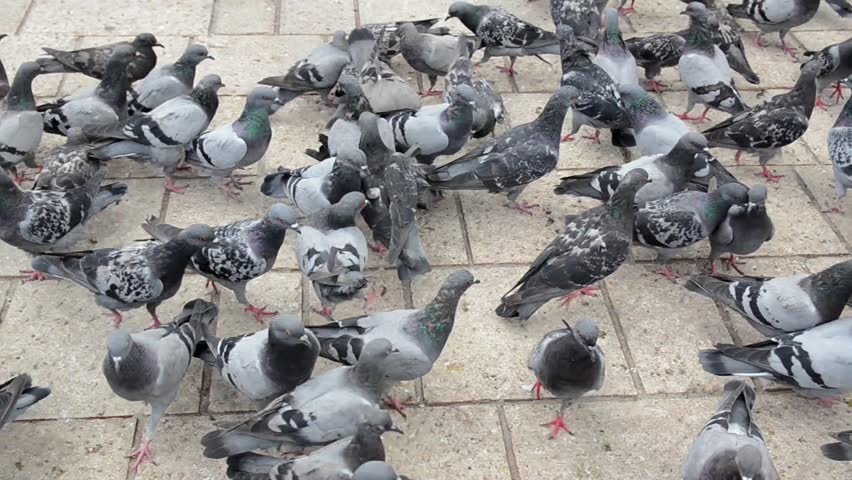 Pigeons eating seed from the hand. People feeding urban pigeons in city centre. A flock of pigeons eating corn grain and bread on the square in town. Group of wild birds are eating and flying  | Shutterstock HD Video #1022658043