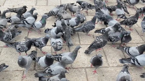 Pigeons eating seed from the hand. People feeding urban pigeons in city centre. A flock of pigeons eating corn grain and bread on the square in town. Group of wild birds are eating and flying