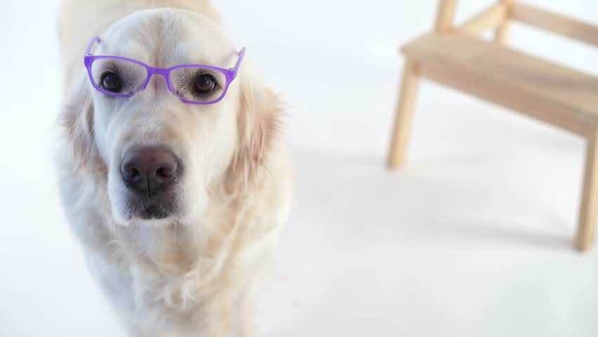 Back to school - funny video, beautiful dog with a wearing glasses posing in the studio on a white background | Shutterstock HD Video #1022689903