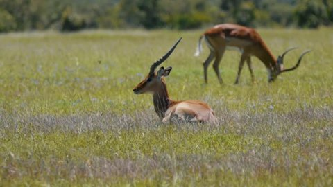 Thompson's gazelles grazing in Kenya near the equator safari