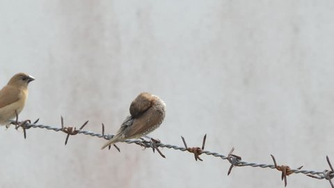 Bird in the city, Scaly-breasted Munia birds (Lonchura punctulata) on the barbed wire fence.