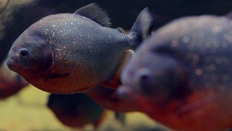 A flock of predatory fish piranha under water. Several fish in underwater scenery. Dangerous freshwater fish Amazoki.