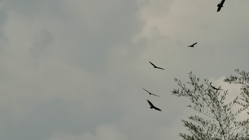 Multiple turkey vulture flying in circles with cloudy stormy skies | Shutterstock HD Video #1023003523
