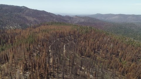 Aerial shot flying high over a partly burned forest in California. Some green trees, many dead. Clear sky, hilly terrain. Grand landscape.