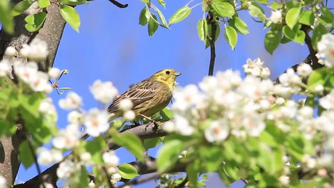 song bird among white pear flowers sings a spring song
