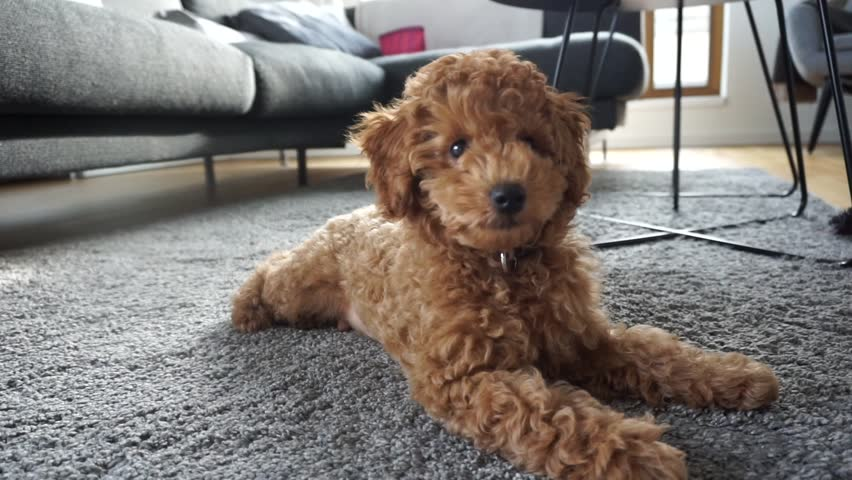 Red Poodle Puppy Resting On Stock Footage Video 100 Royalty Free 1023315223 Shutterstock