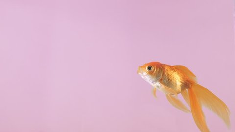 Fish swimming in the water on a pink background