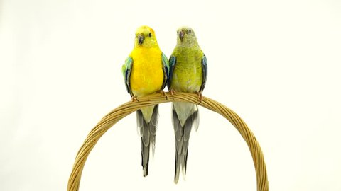 parrots (haematonotus psephotus) isolated on white screen