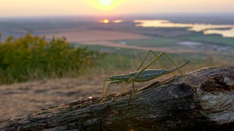 European predatory bush cricket (Saga pedo) at sunset