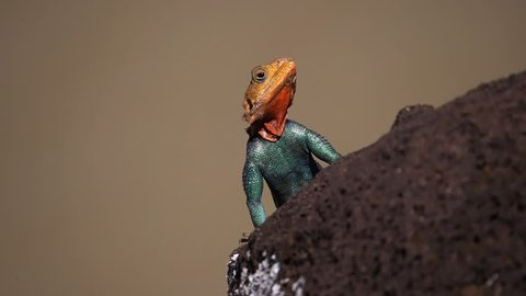 Red-headed Rock Agama, agama agama, Male standing on Rock, Baringo Lake in Kenya, Slow motion
