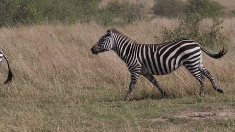 Grant's Zebra, equus burchelli boehmi, group running through Savannah, Masai Mara Park in Kenya, slow motion