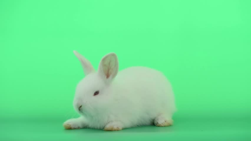 Little white bunny rabbit stand and then move around to survey on green screen background #1023682723