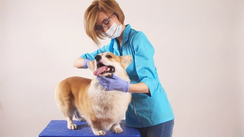 young female vet looking for fleas of the dog at clinic. close up photo. isolated grey background.woman examines the eyes of the pet.