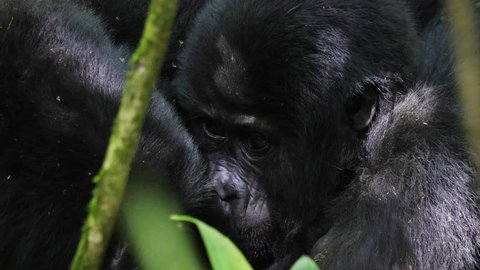 Close-up of a female mountain gorilla (Gorilla beringei beringei) grooming its baby in Bwindi Impenetrable National Park, Uganda. These gorillas are part of the Katwe group. 4K.