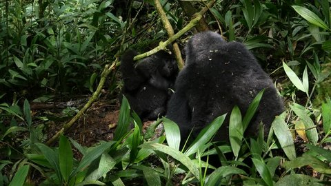 Two young mountain gorillas (Gorilla beringei beringei) playing in Bwindi Impenetrable National Park, Uganda. These gorillas are part of the Katwe group. 4K.