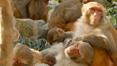 Group of rhesus macaques on rocks. Family of furry beautiful macaques gathering on rocks in nature and sleeping. Swayambhunath Stupa (Monkey Temple) in Kathmandu Nepal