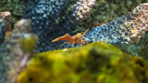Hinge beak shrimp