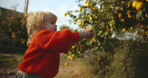 Portrait of little girl trying to pluck a lemon from tree and falling down. Caucasian baby girl picking citrus fruit in garden