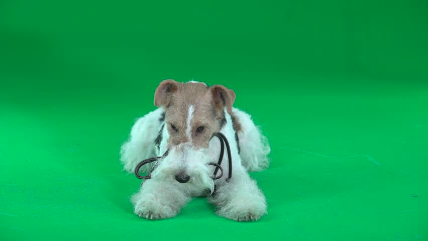 Fox terrier sits with a leash. Green screen #1024187843