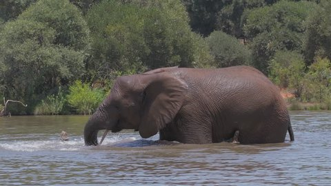 An Elephant has fun splashing around in a water hole to cool down on a hot day.