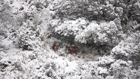 Deers in Sos del Rey Católico with snow, Spain.