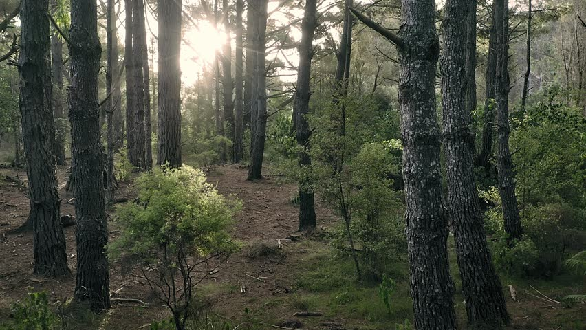 Aerial: Sun shining through trees in a pine forest interior giving a surreal dreamy feel. Opoutere, Coromandel Peninsula. New Zealand    Shutterstock HD Video #1024381013