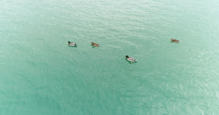 Close up above view of flock of wild ducks swimming on the river, 4k wildlife in the nature footage    Shutterstock HD Video #1024381883