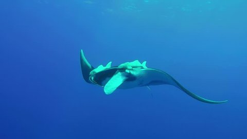 Giant Oceanic Manta Ray at Socorro Islands in the Pacific of Mexico in Clear Blue Water with Scuba Diver