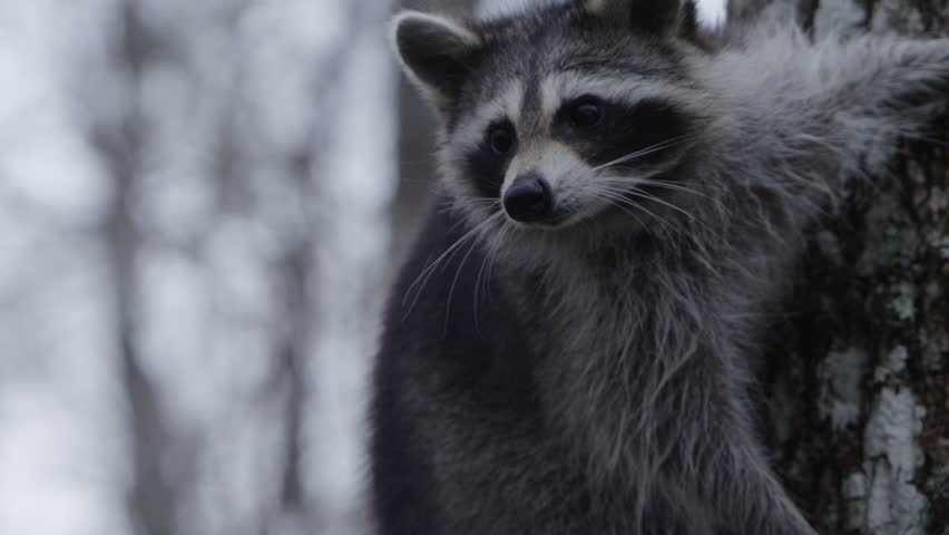 Raccoons in the bayou swimming in slow motion | Shutterstock HD Video #1024556273